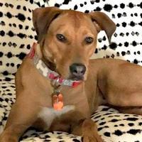 Adopt A Pet :: Dante - McKinney, TX