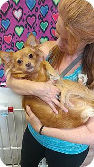 Chihuahua/Papillon Mix Dog for adoption in Virginia Beach, Virginia - Foxy
