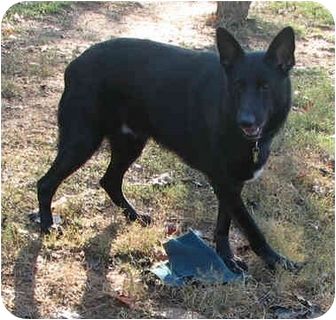 German Shepherd Dog Dog for adoption in Nesbit, Mississippi - Taz