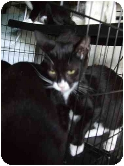 Domestic Shorthair Cat for adoption in Fort Lauderdale, Florida - Flower