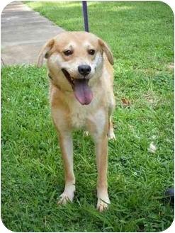 Labrador Retriever/Golden Retriever Mix Dog for adoption in Wellesley, Massachusetts - Michaelangelo