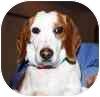 Beagle Dog for adoption in Portland, Oregon - Precious