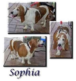 Basset Hound Dog for adoption in Marietta, Georgia - Sophia