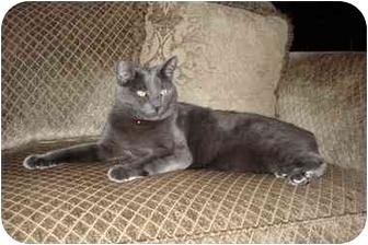 Domestic Shorthair Cat for adoption in Nanaimo, British Columbia - JACK