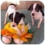 Photo 1 - Dalmatian/Labrador Retriever Mix Puppy for adoption in McArthur, Ohio - The Wiggles