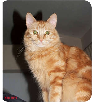 Maine Coon Cat for adoption in Encino, California - MARILYN