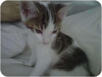 Oriental Kitten for adoption in Philadelphia, Pennsylvania - Amaya