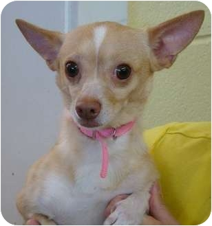Chihuahua Mix Dog for adoption in Haughton, Louisiana - Star
