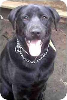 Labrador Retriever Mix Dog for adoption in Forest Hills, New York - Keith