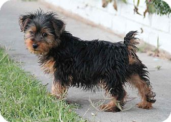 Yorkie, Yorkshire Terrier/Terrier (Unknown Type, Small) Mix Puppy for adoption in Yuba City, California - Otter