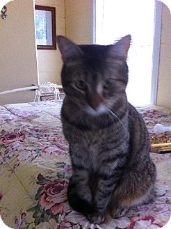 Domestic Shorthair Cat for adoption in Arlington/Ft Worth, Texas - Misty