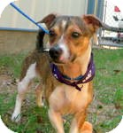 Beagle/Terrier (Unknown Type, Small) Mix Dog for adoption in East Hartford, Connecticut - Rascal in Ct
