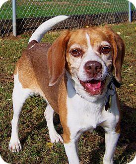 Beagle Dog for adoption in Chambersburg, Pennsylvania - Chrissy