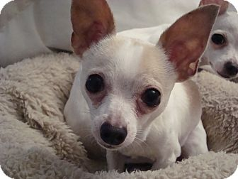 Chihuahua Dog for adoption in Romeoville, Illinois - *ADOPTED* JJ