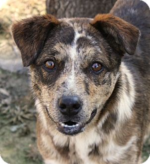 Catahoula Leopard Dog/Border Collie Mix Dog for adoption in Westport, Connecticut - *Paisley - PENDING