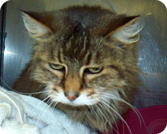 Maine Coon Cat for adoption in Marseilles, Illinois - Scrappy