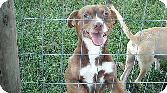 Chihuahua Mix Dog for adoption in Catonsville, Maryland - Ashton