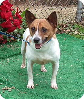 Jack Russell Terrier Dog for adoption in Marietta, Georgia - STUBBY