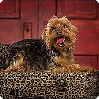 Adopt A Pet :: Little Man - Owensboro, KY