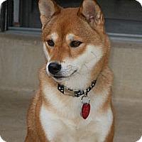 Adopt A Pet :: Jade - Centennial, CO