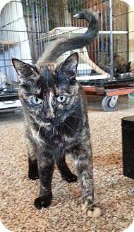 Domestic Shorthair Cat for adoption in Redding, California - Streak