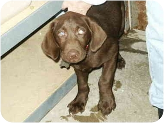 Labrador Retriever Puppy for adoption in Mason City, Iowa - Chevy