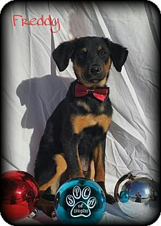 Manchester Terrier Mix Dog for adoption in Walker, Louisiana - Freddy