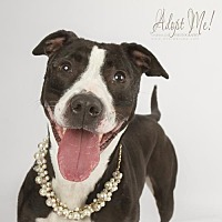 Boxer/Pit Bull Terrier Mix Dog for adoption in Cedar Rapids, Iowa - Piper