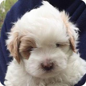 Bichon Frise Mix Puppy for adoption in La Costa, California - Skippy