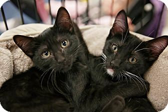 Domestic Shorthair Kitten for adoption in Yorba Linda, California - Kevin and Boots