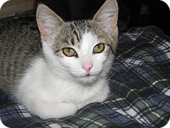 Domestic Shorthair Kitten for adoption in Knoxville, Tennessee - Avon