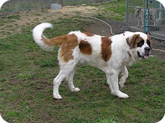 St. Bernard Mix Dog for adoption in Reedsport, Oregon - Beau