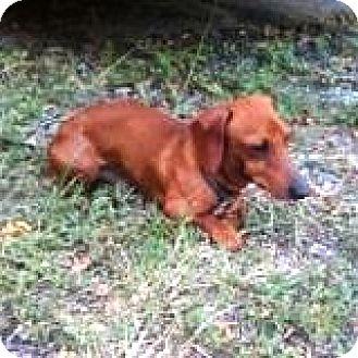 Dachshund Dog for adoption in Houston, Texas - Baron Bavaria