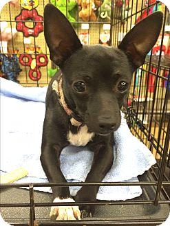Chihuahua Mix Dog for adoption in Schertz, Texas - Solene JH