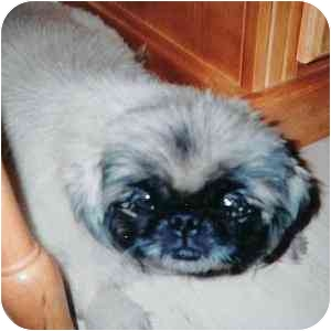 Pekingese Dog for adoption in Manchester, Pennsylvania - Lucy
