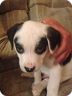 Pit Bull Terrier/Beagle Mix Puppy for adoption in Hainesville, Illinois - Bangal