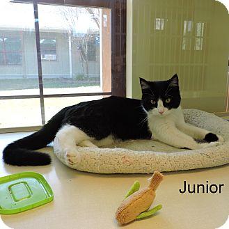Domestic Shorthair Cat for adoption in Slidell, Louisiana - Junior