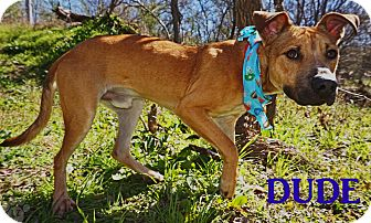 Black Mouth Cur/Hound (Unknown Type) Mix Dog for adoption in Converse, Texas - Dude