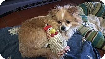 Pomeranian/Tibetan Spaniel Mix Dog for adoption in Mahopac, New York - ROCKY