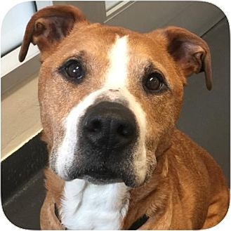 Staffordshire Bull Terrier Mix Dog for adoption in Ithaca, New York - Kayto