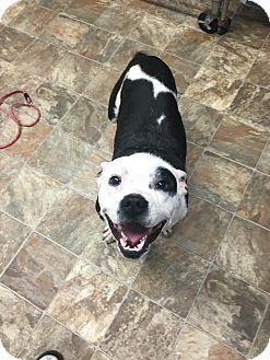 American Staffordshire Terrier Mix Dog for adoption in Darlington, South Carolina - Skip
