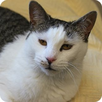 Domestic Shorthair Cat for adoption in Naperville, Illinois - Ruthie
