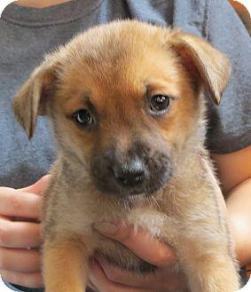 Australian Shepherd/Terrier (Unknown Type, Small) Mix Puppy for adoption in Saint Paul, Minnesota - Helena