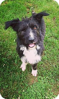 Terrier (Unknown Type, Medium) Mix Dog for adoption in New Milford, Connecticut - Bramble