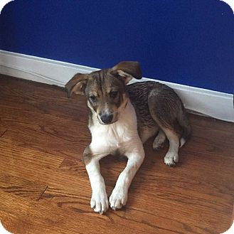 Terrier (Unknown Type, Small)/Chihuahua Mix Puppy for adoption in Valley Stream, New York - Sadie