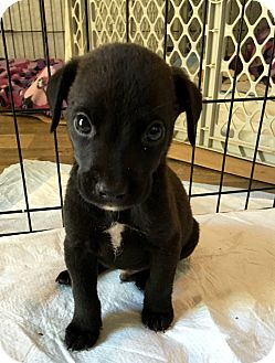 Labrador Retriever Mix Puppy for adoption in Portsmouth, New Hampshire - Chip-adoption pending