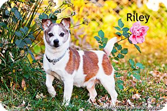 Pembroke Welsh Corgi/Terrier (Unknown Type, Small) Mix Dog for adoption in Lisbon, Iowa - Riley
