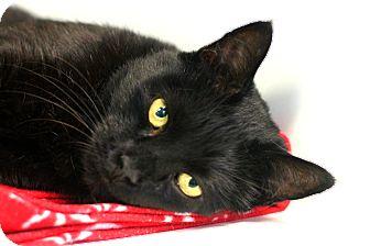 Domestic Shorthair Cat for adoption in Staunton, Virginia - Pooh Bear