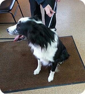 Border Collie/Australian Shepherd Mix Dog for adoption in Greeley, Colorado - Riggs