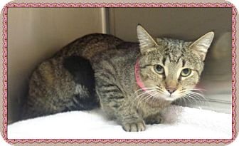 Domestic Shorthair Cat for adoption in Marietta, Georgia - LEXI - reclaimed